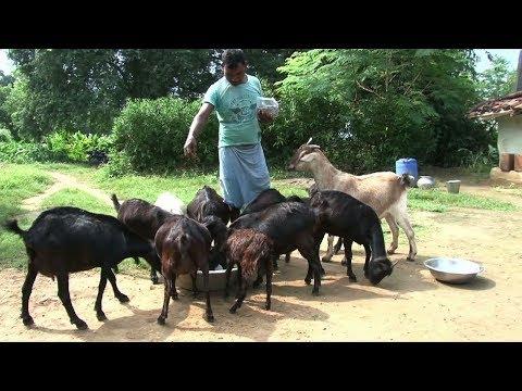 Aadhunik Bakri Palan || बकरी पालन || In Bihar