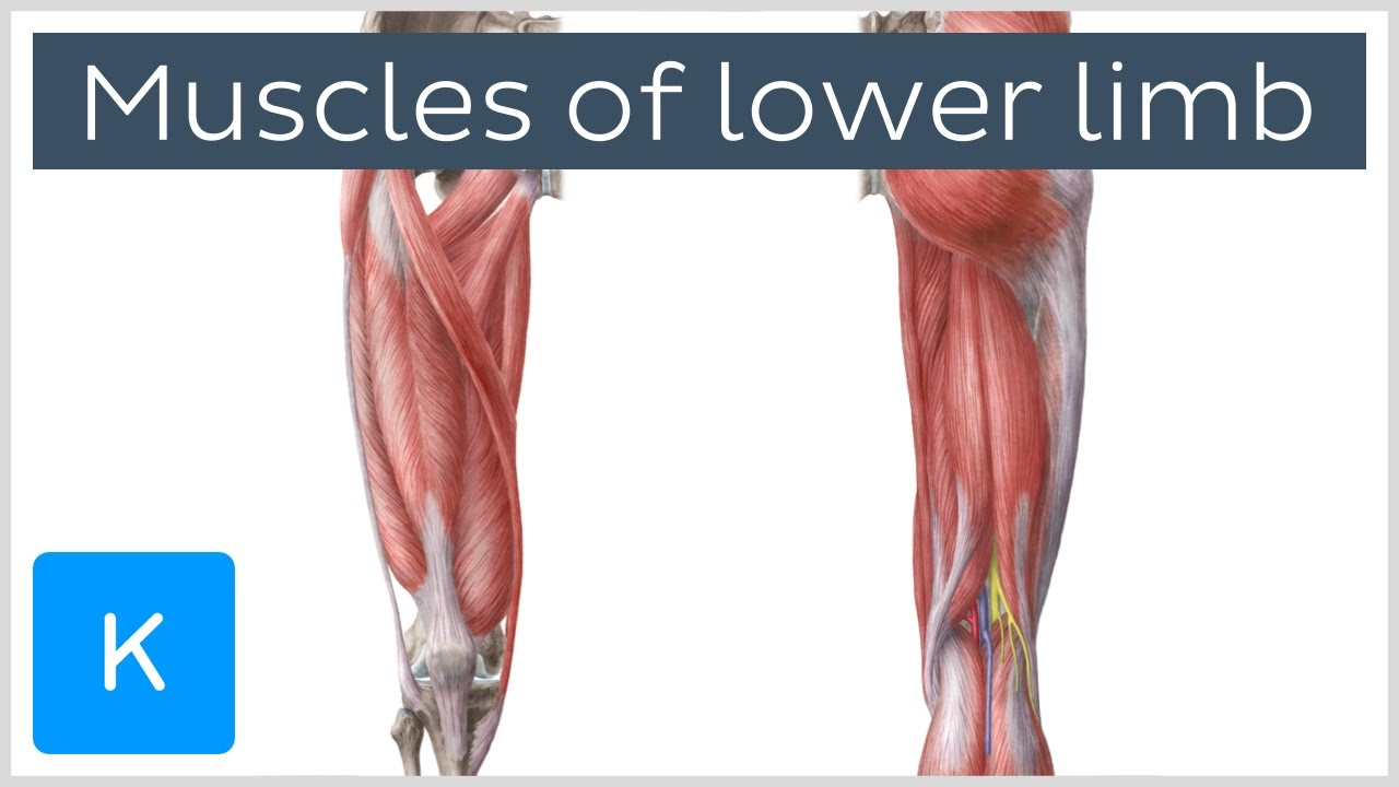 Muscles Of The Lower Limb Preview Human Anatomy Kenhub Youtube