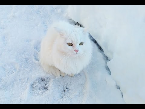 Winter cat videos - Angora cat Lika having a walk in snow