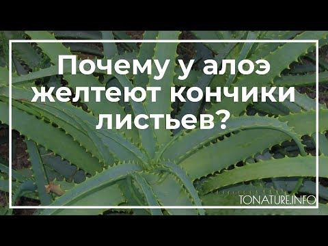 Почему у алоэ желтеют кончики листьев? | toNature.Info