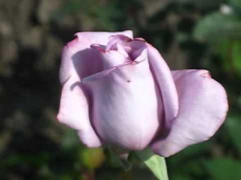 Цветы. Розы. Блу Мун.