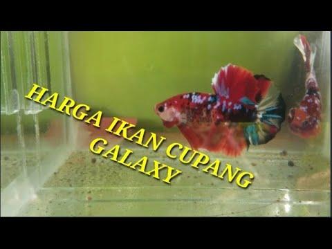 Harga Ikan Cupang Galaxy Youtube