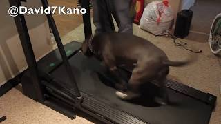 "DUKE the ""Amazing Pitbull"" is a DOG that LOVES to Run on the Treadmill -- 40,000 View Plus!!!"
