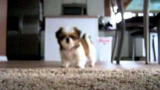 Shih Tzu Puppy Barking
