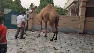 Best camel qurbani 2017 Chef Butcher Saghir Ahmad Lahore Pakistan