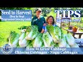 How to Grow Chinese Cabbage - Napa Cabbage  -  TIPS Growing Cabbage From Seeds
