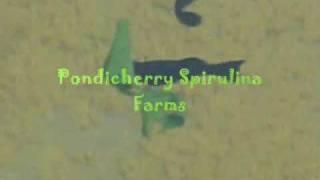 Spirulina - Fresh Spirulina Feeding to Fish