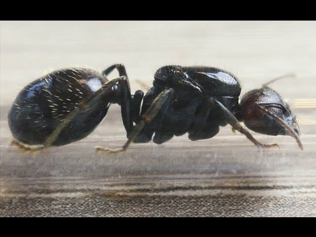 Mierenboerderij experiment Introductie nieuwe koningin in bestaande mierenkolonie Video 4