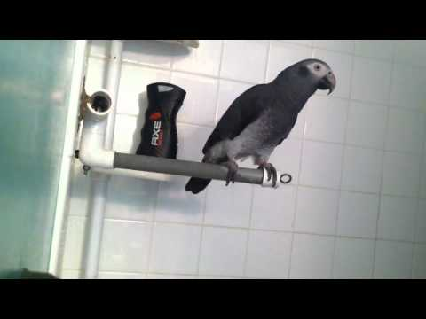"African Grey Parrot says ""Wanna take a shower?"""