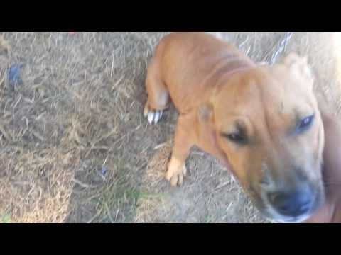 Eli jeep redboy puppies at Williams kennels - YouTube