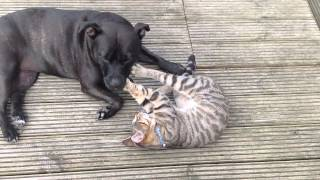 Staffordshire Bull Terrier And Cat,