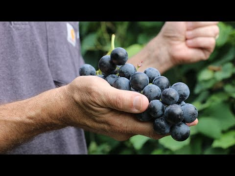 Cornell University creates seedless grape that rivals a Concord (video)