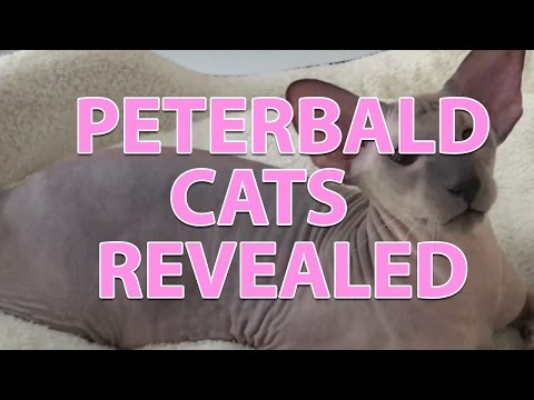 Peterbald cats revealed