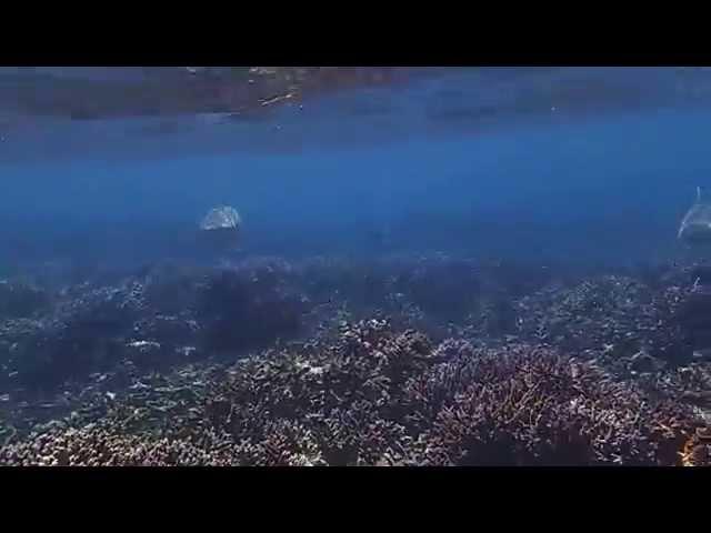 ?????????? ??????? ????? Blacktip reef shark Carcharhinus melanopterus
