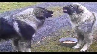food aggression Illyrian Shepherd (rank fight )