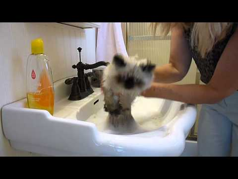 Kitties Bath Time - How to Give a Kitty a Bath - Victorian Gardens Cattery.MP4