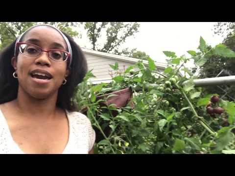 Indeterminate vs determinate tomato plants