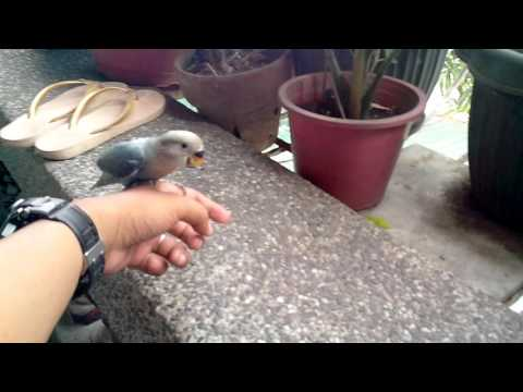 african lovebird outdoor recall training
