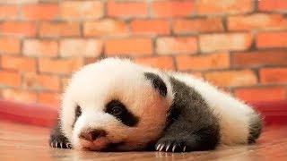 ПОПРОБУЙ НЕ ЗАСМЕЯТЬСЯ 🔴 Смешные Приколы с Животными до слез, Смешные панды