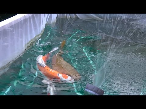 My Koi Breeding Project - Part 4 - The Third Night.....