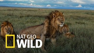 Gangi lwów - Bliskie spotkania z lwami