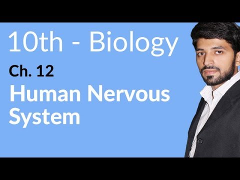 Human Nervous System - Biology Chapter 12 Coordination and Control - 10th Class