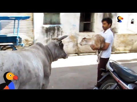 Essay on Cow for Kids and School Students - 10 Lines,100