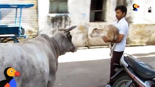 Cow Mom Won't Leave Hurt Baby's Side | The Dodo