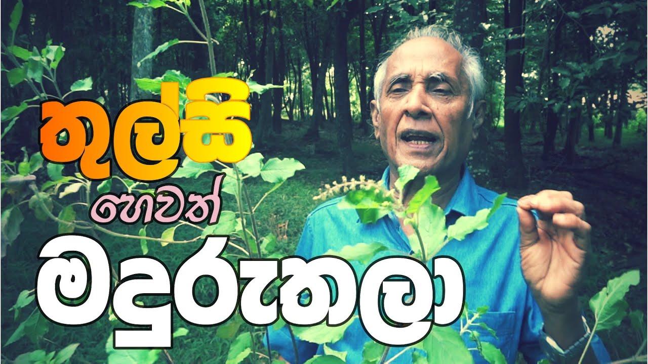 Download තුල්සි හෙවත් මදුරුතලා වල විශේෂිත ගුණ.  Health benefits of Thulasi.