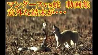 【動物面白い動画集】マングースvs蛇 意外な結末が・・・ 【関連動画...