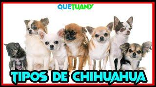 Tipos de Chihuahua  Caracteristicas   Perros Chihuahuas