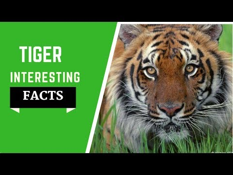 Tiger Facts For Kids -  All Info Species, Habitat, Diet And Much More!