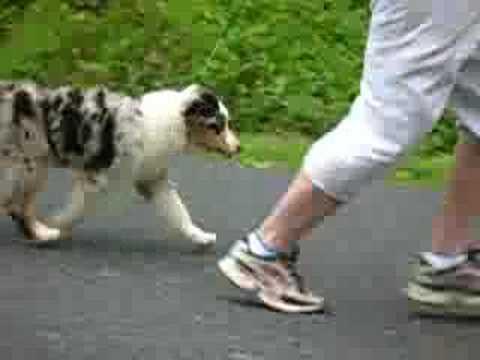 Australian Shepherd Puppy Practicing Confirmation