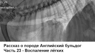 Английский бульдог - воспаление лёгких + бонус Чё у Мишки внутри