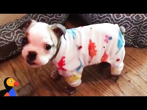 Tiny Bulldog Was So Little She Almost Didn't Survive | The Dodo