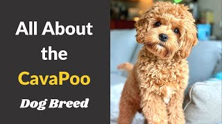 A to Z Guide about Cavapoo dog breed | Size, Behavior, Training and Temperament |