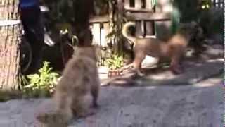 Лето жара собака нападает на кота(Собака играется и резвиться нападая на рыжого кота., 2013-08-23T12:39:45.000Z)