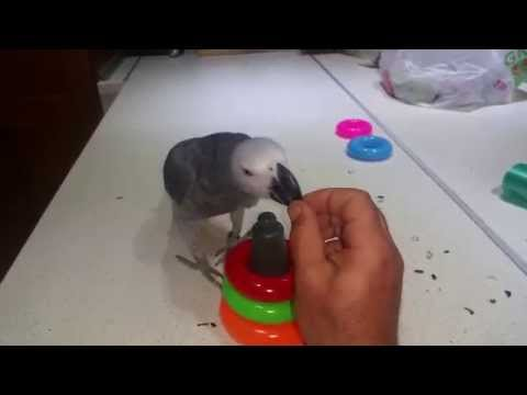 21 tricks from very smart African Gray