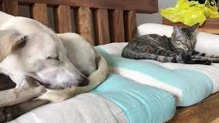 生後2歳弱のバリ犬と生後9か月のバリ猫.