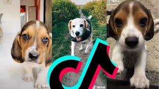 The Most Sweetest Beagle TikTok Compilation 2021 | Dogs Of TikTok