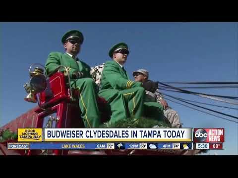 VJ Kidd Leow - Budweiser Clydesdales in Tampa   Gasparilla