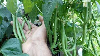 Como Plantar Vagem Em Vasos – Horta em Casa