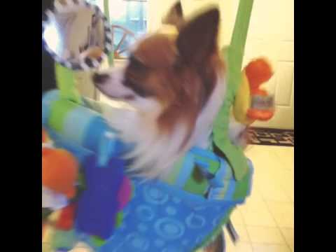Epileptic Dog Swings in baby bouncer