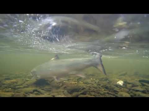 Salmon Fishing Ireland 2019 HD