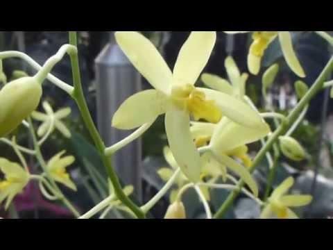 Wisley Glasshouse - Leopard Orchid - Ansellia africana  -  Orkídea með gul blóm  -  Brönugras