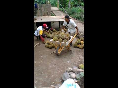 Pengepul Durian Dari Tebing Tinggi 4 Lawang (Durian Sale From South Sumatera)