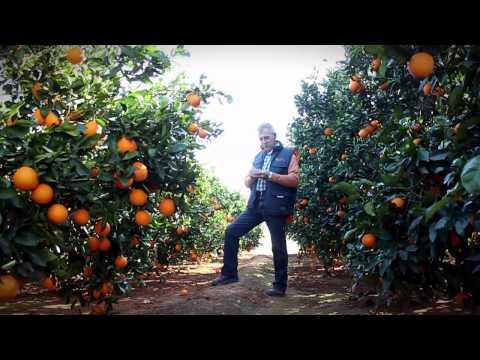 Orangen von Valencia (Spanien)