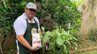 Como Plantar Berinjela em Vaso