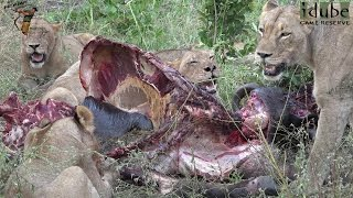 Buffalo Eaten By The Mangheni Pride (The Other Mapogo Daughters, Part 5)