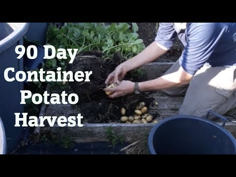 Allotment Diary : First Outdoor Container Potato test Harvest